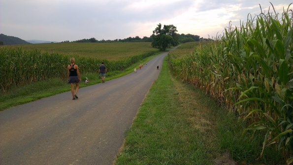 Country road between corn fields, tree in the distance, hills in the background. Hikers spread along the road.